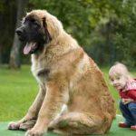 Quel est le chien le plus grand du monde ?